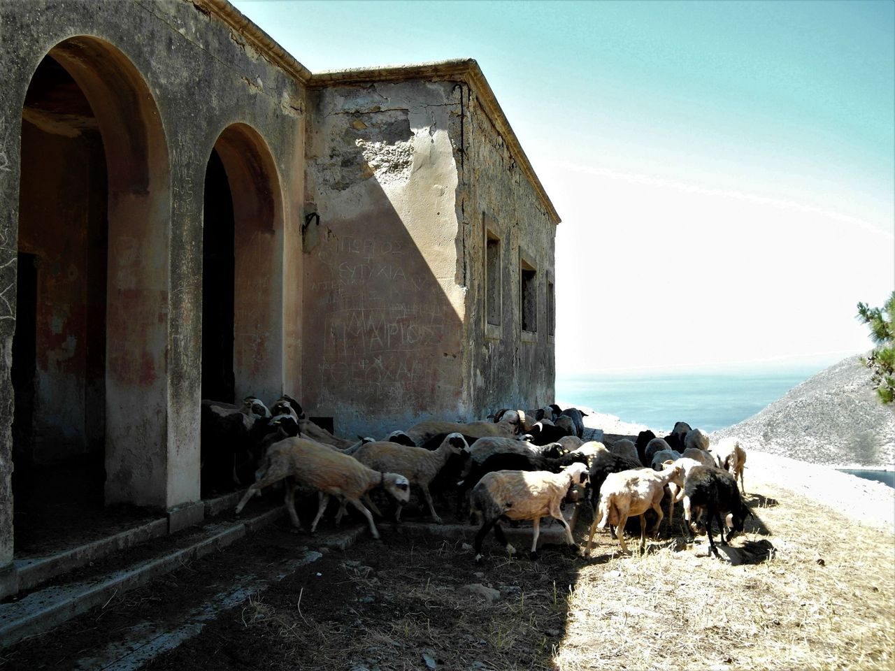 Sheep and goats roam in the very same buildings soldiers used during World War 2