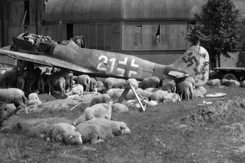 Sheep graze under a wrecked Fw-190 near Nuremberg during the summer of 1946