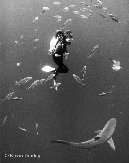 """The late Rob Palmer, using a Draeger Dolphin Semi-Closed Circuit Rebreather (SCR) and eyeballing a shark, Tongue Of The Ocean, off Nassau, Bahamas, 1995. One of the benefits of SCR's, and more so CCR's, is they allow very close interaction with wildlife because of the minimal (SCR) or complete (CCR) lack of exhaled noisy bubbles as with regular scuba equipment. (And just who were those """"Wah-Wah"""" divers? If you know, then your age is showing!)"""